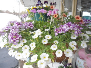 Risbara purple and whte hanging basket